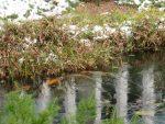 iced-over koi pond