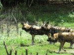 painted dogs on the safari
