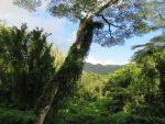 Manoa Falls trail scenery